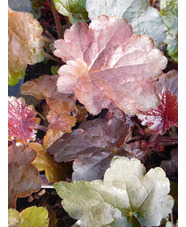 Heuchera villosa 'Palace Purple'