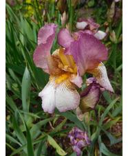 Iris 'Benton Deidre'