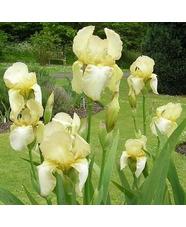 Iris 'Benton Duff'