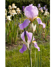 Iris 'Benton Old Madrid'
