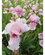 Iris 'Raspberry Blush' 1L