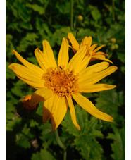 Ligularia japonica
