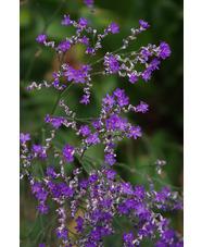 Limonium platyphyllum 'Violetta'