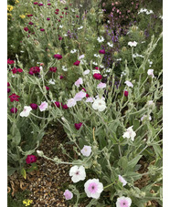 Lychnis coronaria 'Angel's Blush'