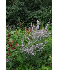 Lythrum species