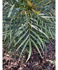 Mahonia eurybracteata subsp. ganpinensis 'Soft Caress'