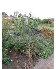Molinia caerulea subsp. arundinacea 'Les Ponts de Cé'