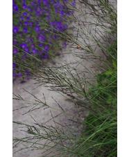Molinia caerulea subsp. arundinacea 'Fontäne'
