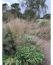Molinia caerulea subsp. arundinacea ex Hortvs