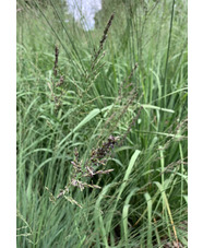Molinia caerulea subsp. caerulea 'Dark Defender'