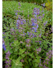 Nepeta racemosa 'Little Titch'