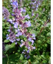 Nepeta x faassenii 'Purrsian Blue'