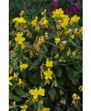 Oenothera pilosella 'Glencoe'