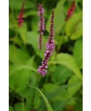 Persicaria amplexicaulis 'Rowden Gem'