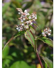 Persicaria campanulata 'Southcombe White'