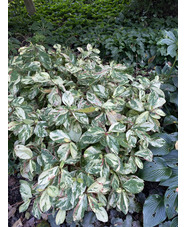 Persicaria virginiana Variegated Group