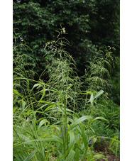 Phaenosperma globosa