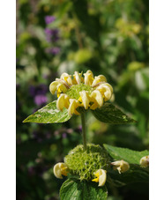 Phlomis russeliana 'Speckled Hen'