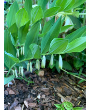 Polygonatum odoratum 'Silver Wings'