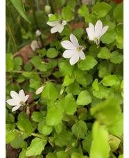 Pratia angulata 'Treadwellii'