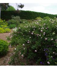 Rosa spinosissima 'Falkland'