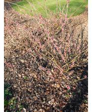 Salix gracilistyla 'Mount Aso'