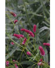 Sanguisorba tenuifolia 'Pink Elephant'