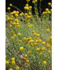 Santolina chamaecyparissus subsp. magonica