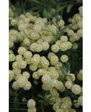 Santolina pinnata subsp. neapolitana