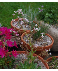 Saxifraga Southside Seedling Group