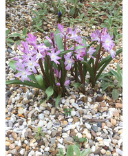 Scilla 'Pink Giant'