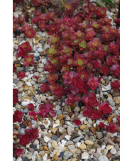 Sedum spurium 'Dragons Blood'