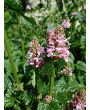 Stachys officinalis 'Rosa Superba'