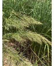 Stipa calamagrostis 'Allgäu'