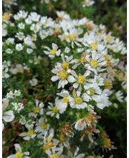 Symphyotrichum erocoides var. prostratum 'Snow Flurry'