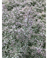 Symphyotrichum lateriflorum 'Prince'