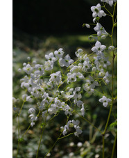 Thalictrum Splendide White = 'Fr21034'