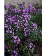 Thymus herba barona 'Caraway-scented'
