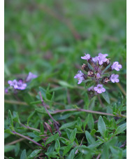 Thymus herba barona 'Lemon-scented'