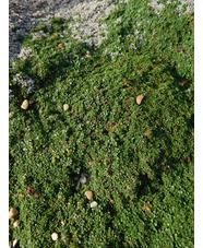 Thymus serphyllum 'Minor'