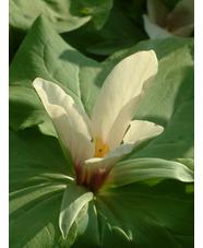 Trillium chloropetalum white-flowered