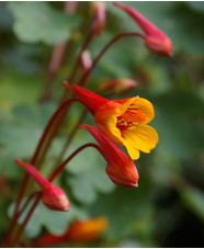 Tropaeolum tuberosum var. lineomaculatum 'Ken Aslet'