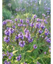 Verbena macdougalii 'Lavender Spires'